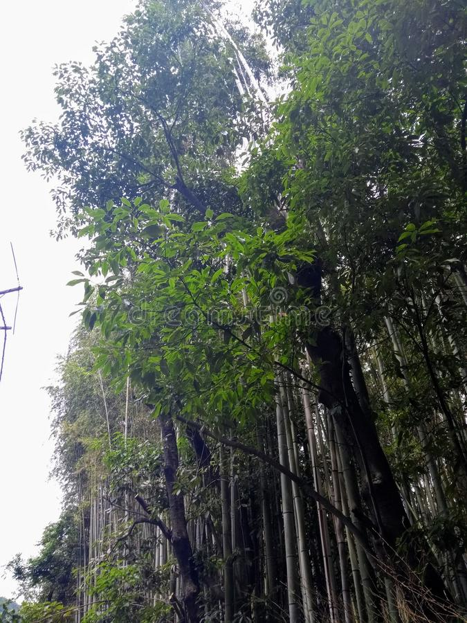 Bamboo Forest Park in Summer stock image
