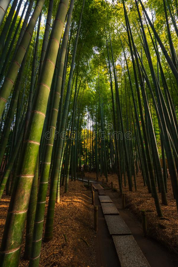 Bamboo forest path in Tokyo stock photo