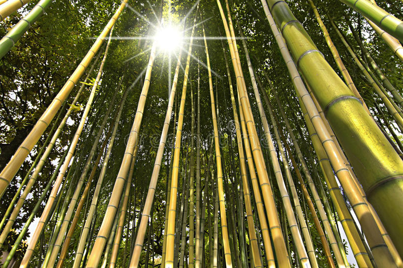 Bamboo Forest Perspective royalty free stock photography