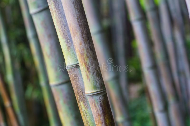 Bamboo forest texture close up royalty free stock photography