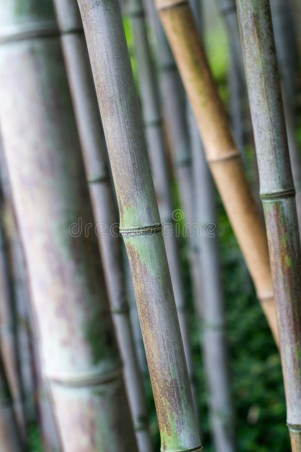 Bamboo forest texture close up stock images