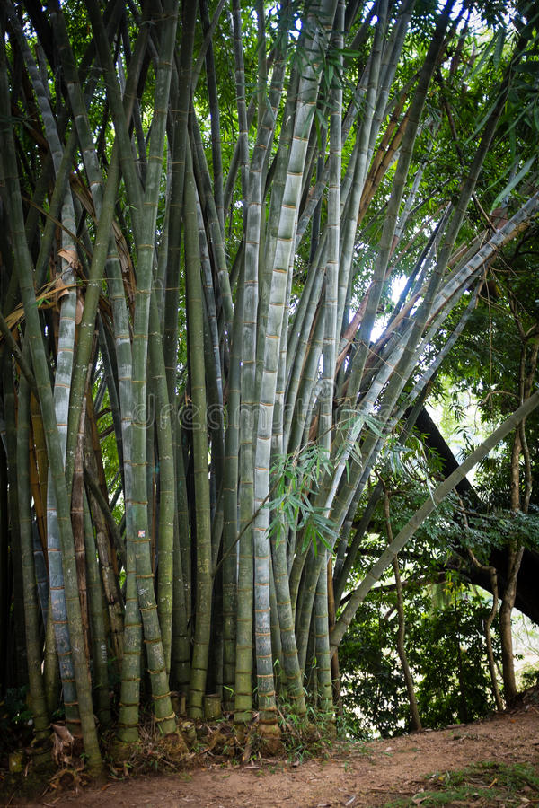 Bamboo Forest. Bamboo trees in green tropical forest royalty free stock photography