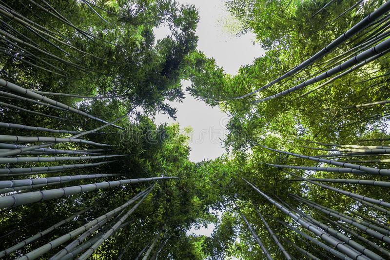 Download Bamboo Forest Royalty Free Stock Photo - Image: 32740295