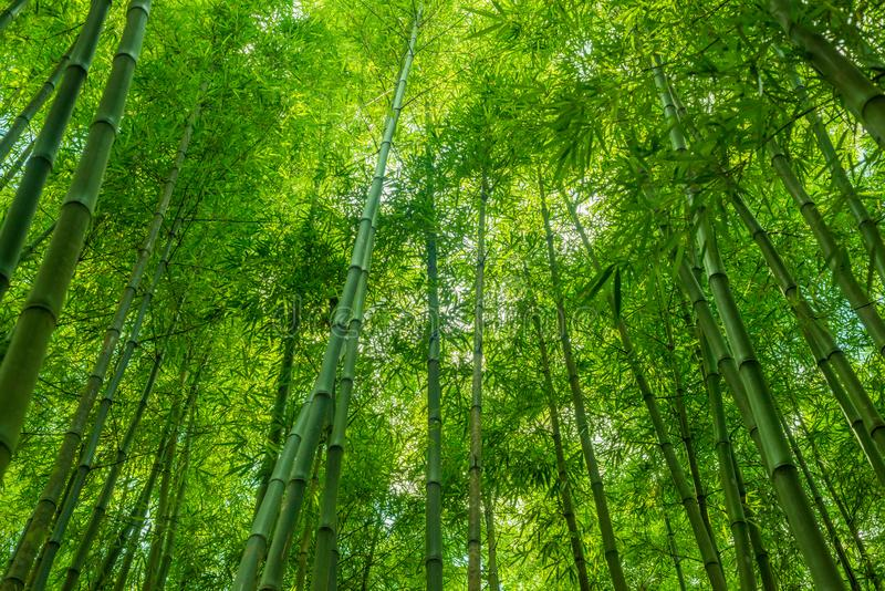 Bamboo forest wallpaper. Bamboo green forest wallpaper nature background royalty free stock photography