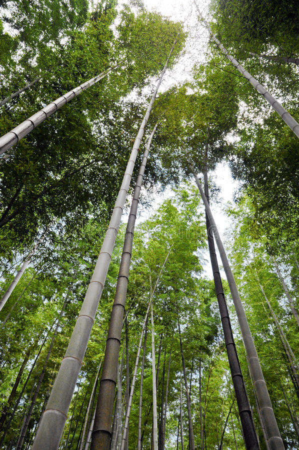 Download Bamboo Forest stock photo. Image of plant, climate, calming - 38665696