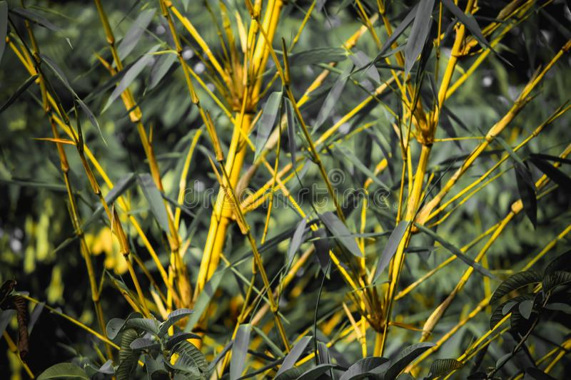Bamboo Forest Yellow Bamboos. Beautiful Bamboo Forest in Kerala. Closeup click of bamboo plants. Yellow green color royalty free stock photo