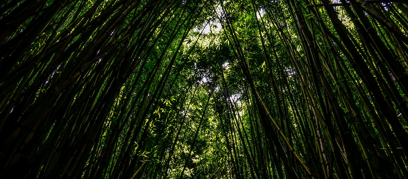 Bamboo forrest stock photo