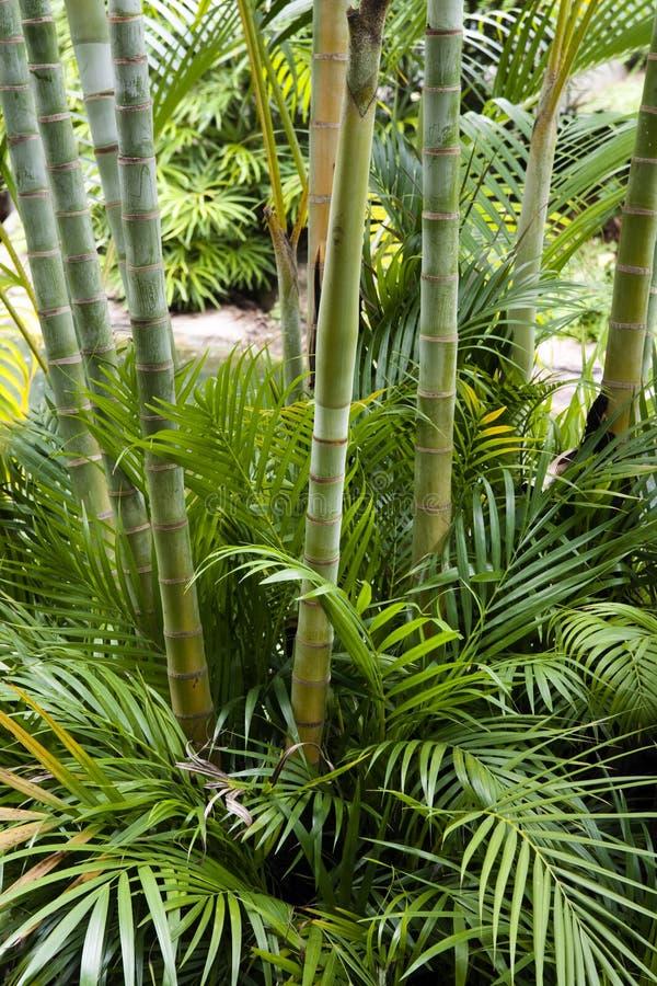 Bamboo garden. Landscapr of tropical bamboo garden royalty free stock image