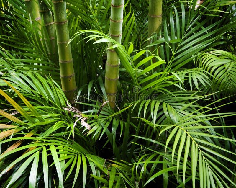 Bamboo garden. Landscape of tropical bamboo plant in garden stock photography