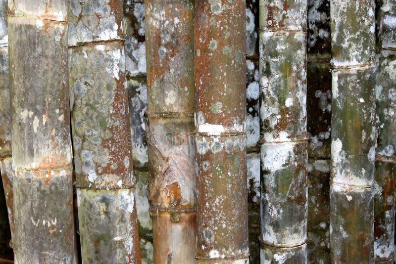 Bamboo garden. Tropical green bamboo in garden royalty free stock images