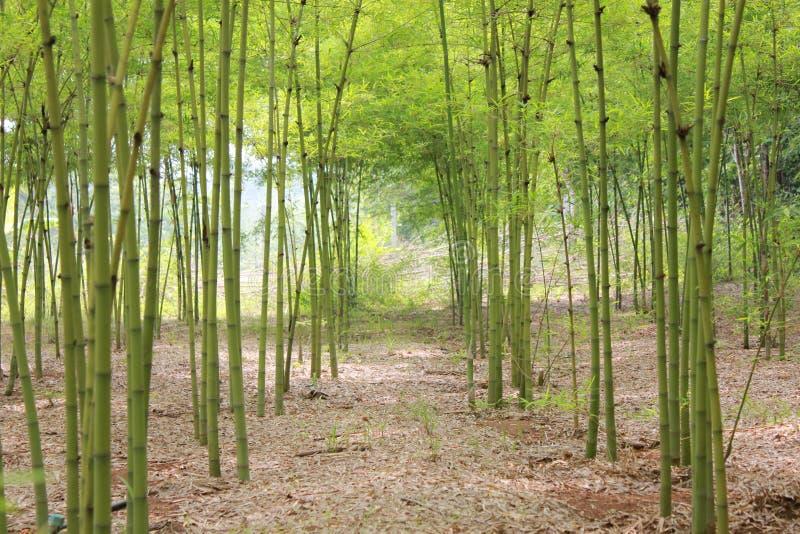 Bamboo garden. Bamboo garden in the countryside royalty free stock photos