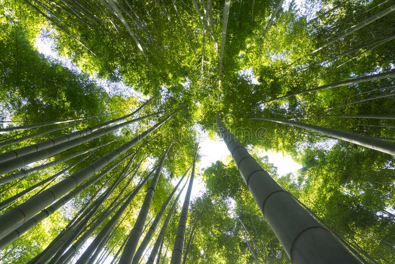 The bamboo garden at Hokoku-ji in Kamakura, Japan. The uprisen angle of bamboo garden with sunshine at Hokoku-ji in Kamakura, Japan stock photos