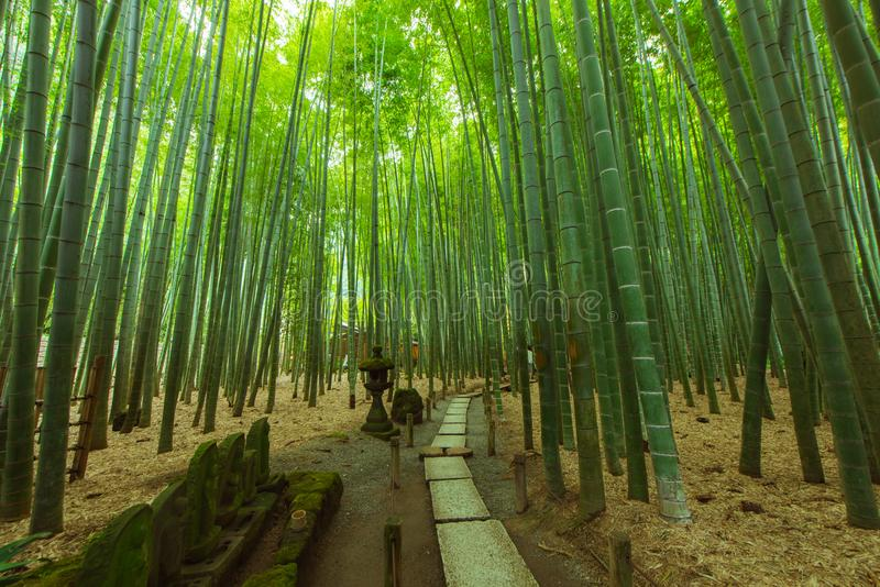 Bamboo Garden in Kamakura Japan. This is the Bamboo Garden at Hokoku ji in Kamakura Japan royalty free stock image