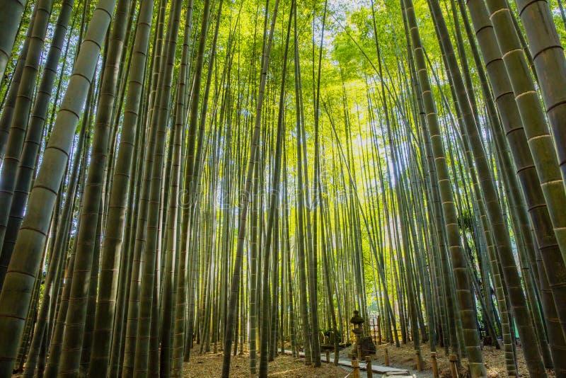 Bamboo Garden in Kamakura Japan. This is the Bamboo Garden at Hokoku ji in Kamakura Japan royalty free stock photo