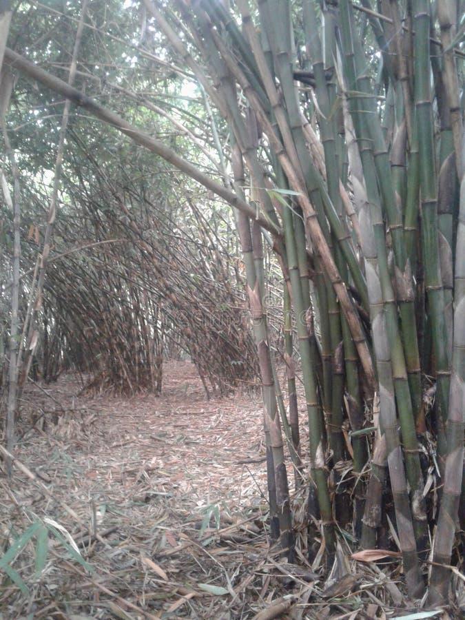 Bamboo garden. A leafy thick green bamboo garden stock photography
