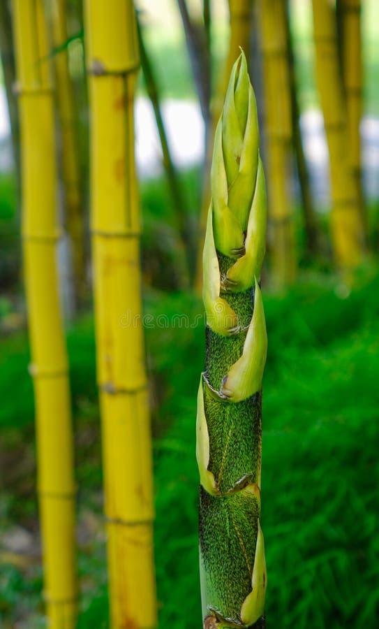 Bamboo garden. Bamboo trees at Japanese garden in summer day royalty free stock photos