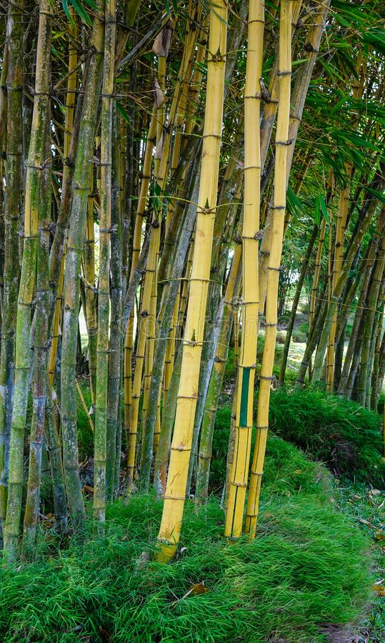 Bamboo garden. Bamboo trees at Japanese garden in summer day stock images