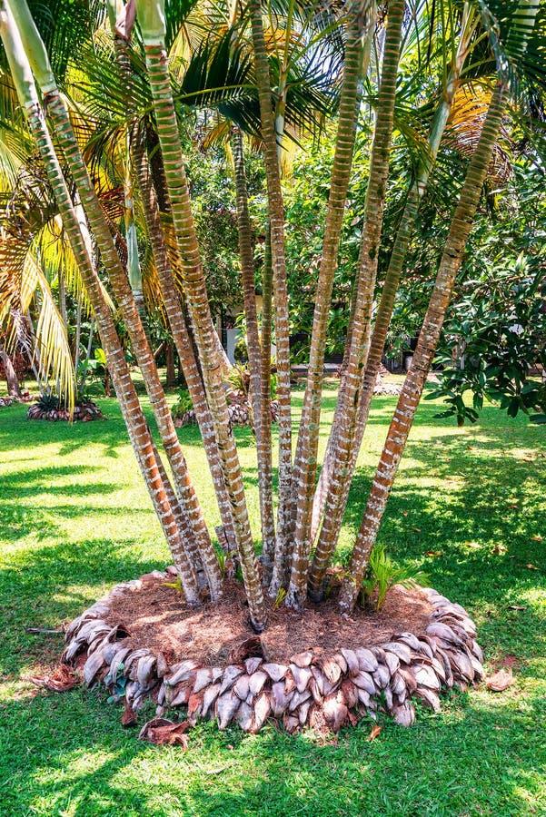Bamboo in the garden. Bamboo twigs in the green tropical garden stock photography