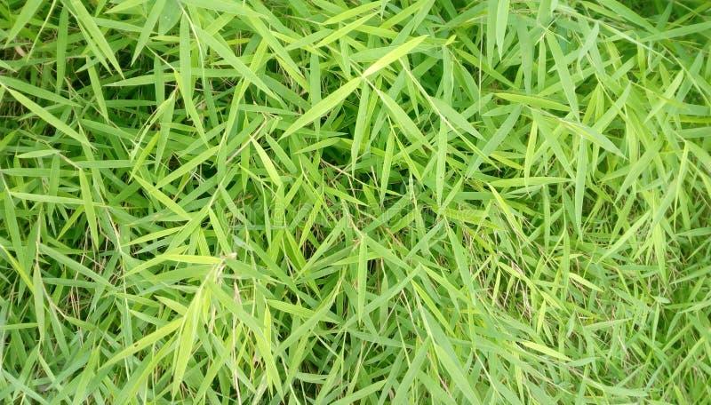 Bamboo grass royalty free stock image