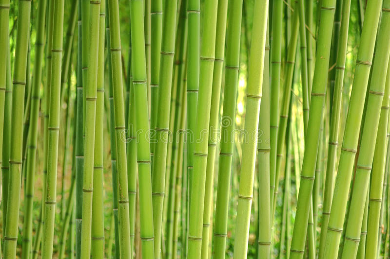 Bamboo Grass Stalk Plants Stems in Dense Grove royalty free stock photography