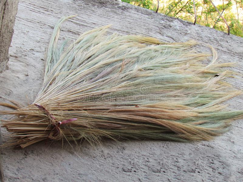Bamboo grass, Tiger grass, different colours of the grass flowers, lay spread out to dry. To remove the pellets. Then make a broom and decorations royalty free stock images