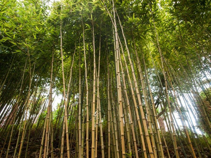 Bamboo grass type Chusquea culeou tall green shoots. royalty free stock photo