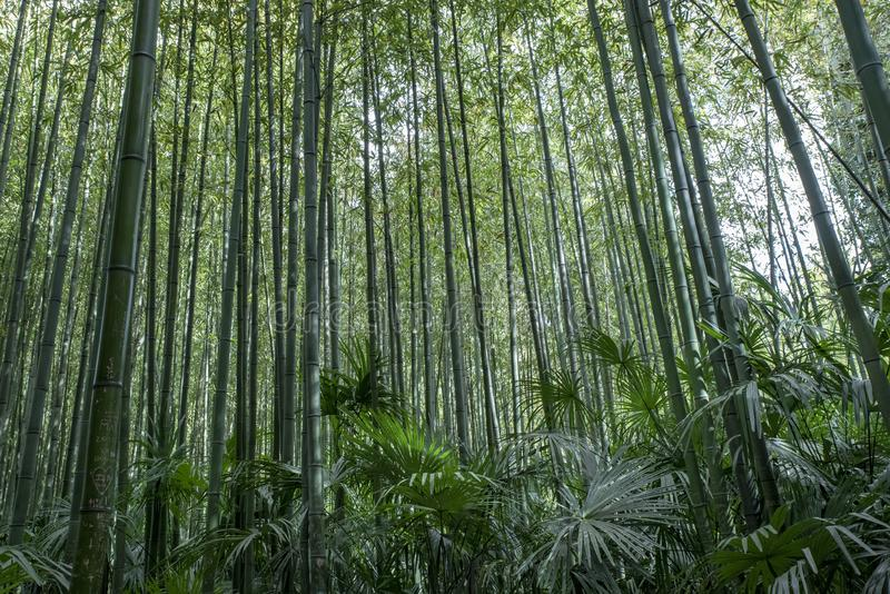 Bamboo green forest royalty free stock photo