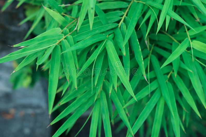 Bamboo green leaves natural background japanese environment chin stock photography