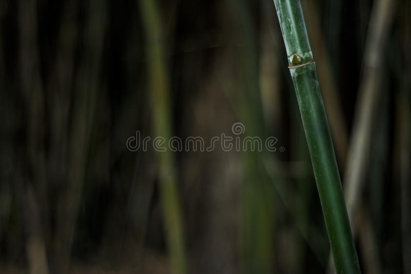 Bamboo. Green Bamboo on a tropical forest stock photo