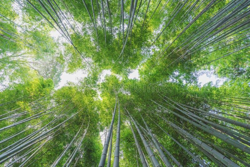 Bamboo grove at Arashiyama bamboo forest in Kyoto, Japan stock photo