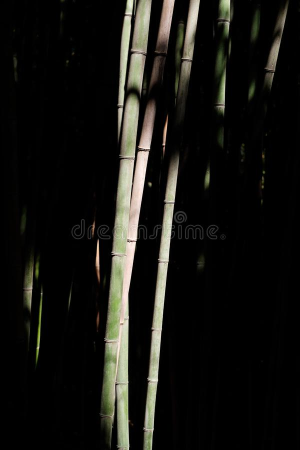 Bamboo in a bamboo grove. Contrast bamboo under the sun in a bamboo grove stock photo
