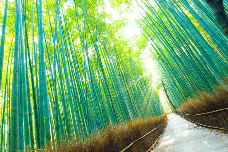 Bamboo Grove Forest Light Rays Trees Tilted. Morning sun god rays shining through tall green bamboo trees on an empty footpath at Arashiyama Bamboo Grove forest royalty free stock images