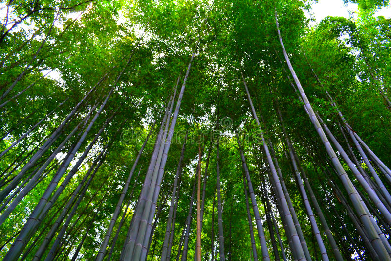 Bamboo Grove In Kyoto, Japan Royalty Free Stock Photos