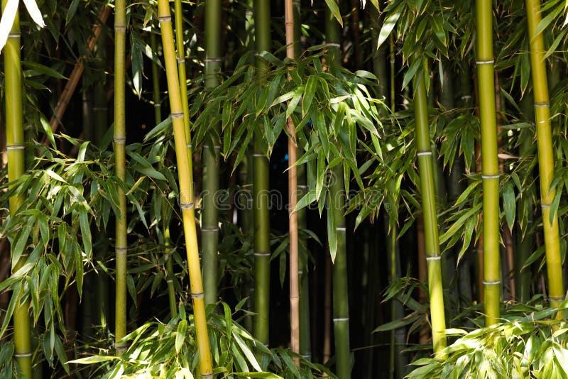 Bamboo grove nature background. Image royalty free stock image