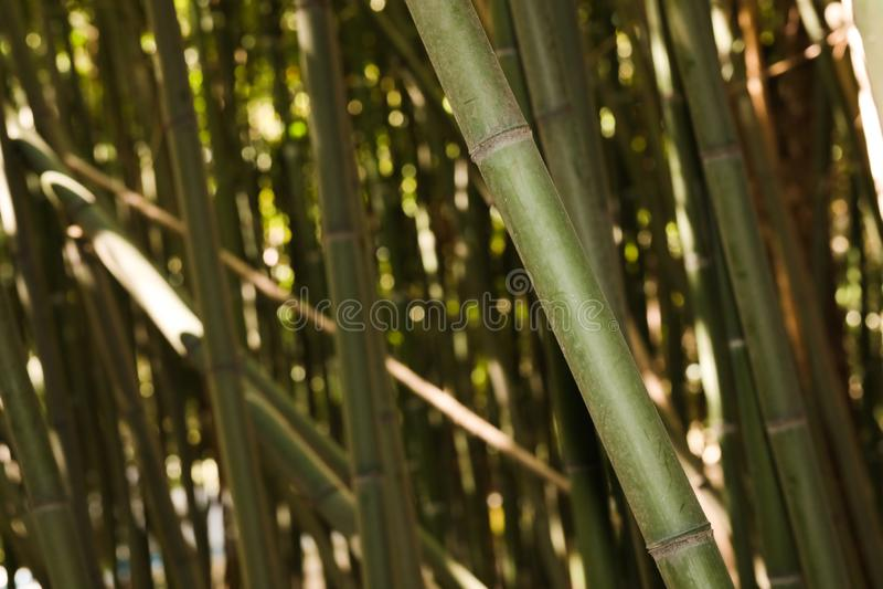 Bamboo grove nature background. Image royalty free stock photos