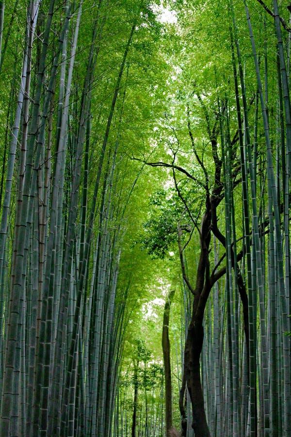 Bamboo groves at Arashiyama ,Kyoto, Japan. royalty free stock images