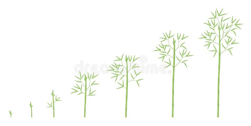 Bamboo growth stages. Bamboos ripening period progression. Bambusa life cycle animation plant phases development. Bambos green. Leaves and stalk. Flat vector vector illustration