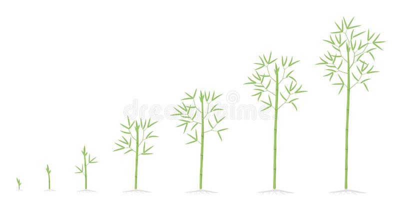 Bamboo growth stages. Bamboos ripening period progression. Bambusa life cycle animation plant phases development. Bambos with. Roots. Green leaves and stalk stock illustration