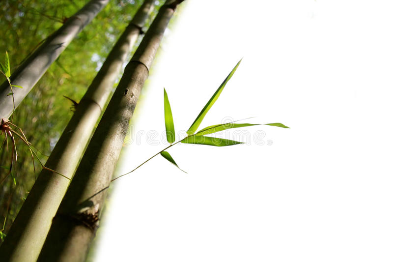 Bamboo isolated. Bunch of fresh bamboo trees with leaves isolated with copy space on white background royalty free stock photos
