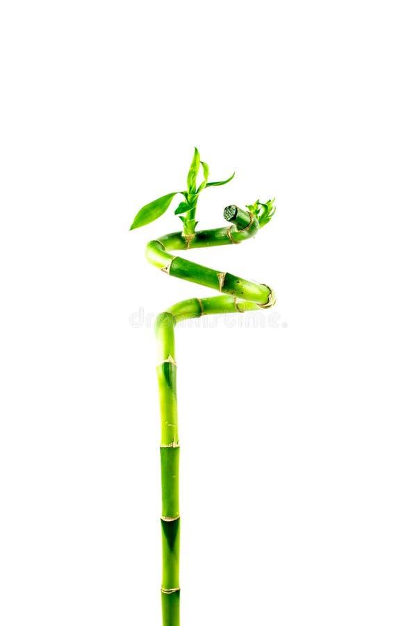 Bamboo isolated on white background. Dracaena. Braunii stock image