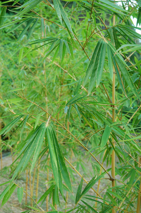 Download Bamboo Leaf Stock Images - Image: 13288964