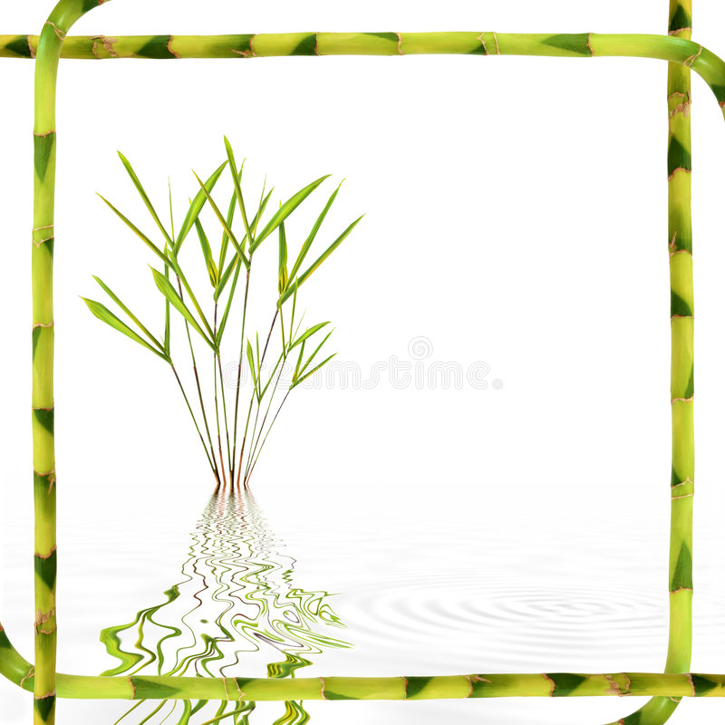 Bamboo Leaf Beauty. Bamboo leaf grass with reflection in rippled grey water framed with lucky bamboo stems over white background stock images