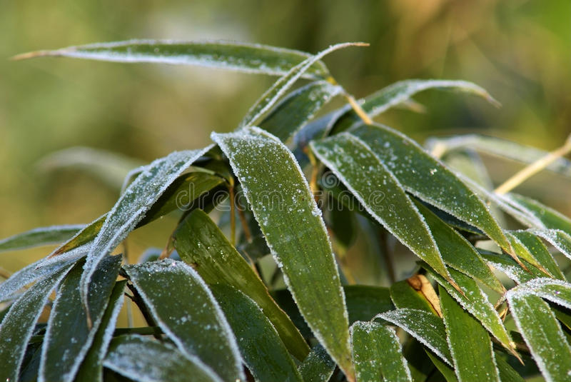 Download Bamboo leaf with frost stock image. Image of plant, white - 14299109