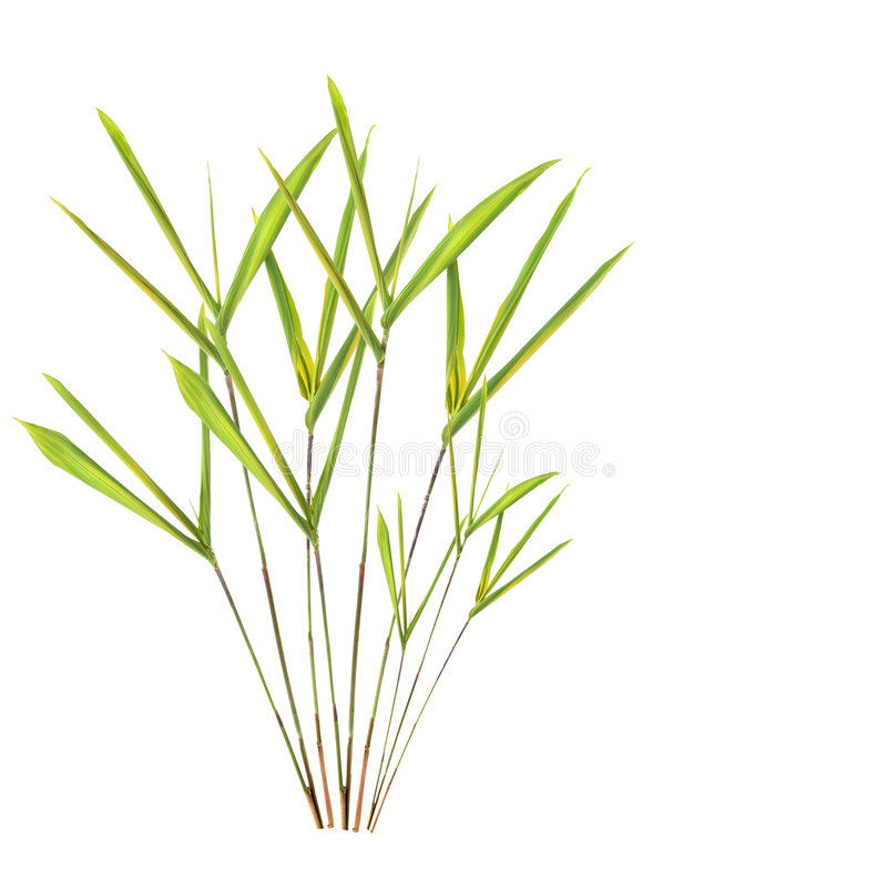 Bamboo Leaf Grass. Over white background royalty free stock photography