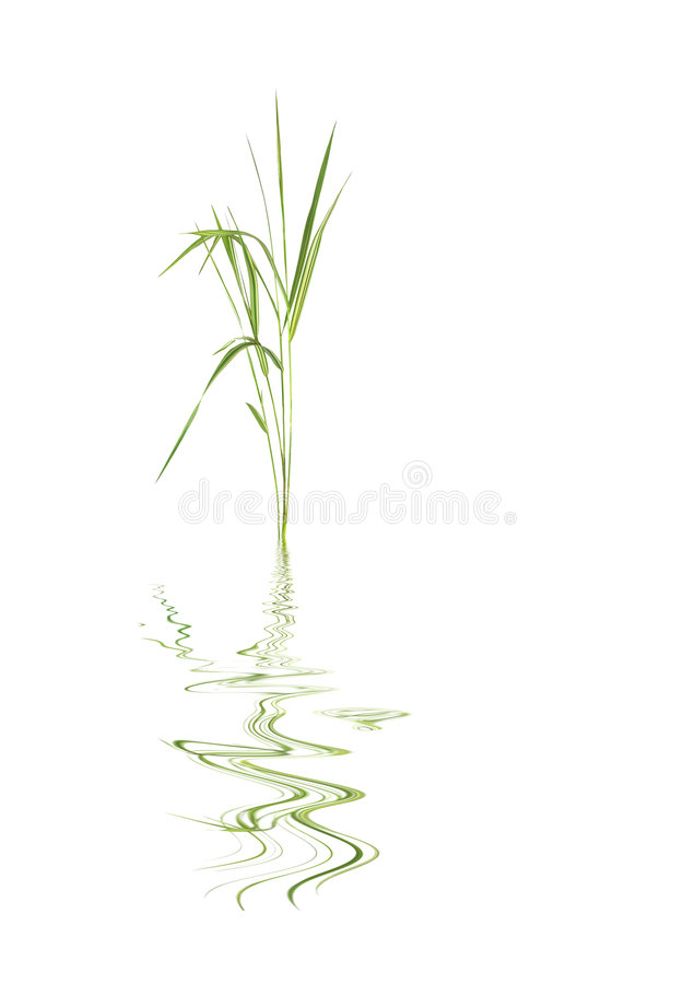 Bamboo Leaf Grass. Zen abstract of bamboo leaf grass with reflection over rippled water, against white background royalty free stock photo