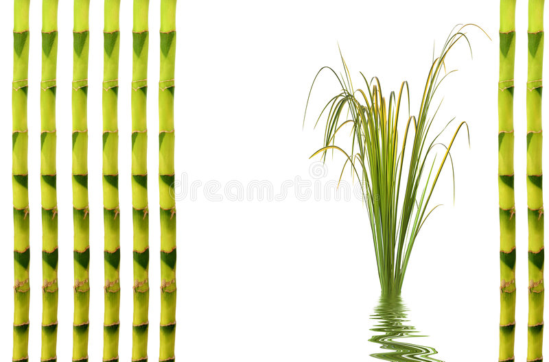 Bamboo Leaf Grass. Zen garden abstract of upright bamboo and acorus leaf grass with reflection in rippled water. Over white background royalty free stock photography
