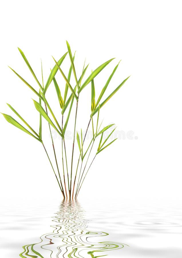 Bamboo Leaf Grass Beauty stock image