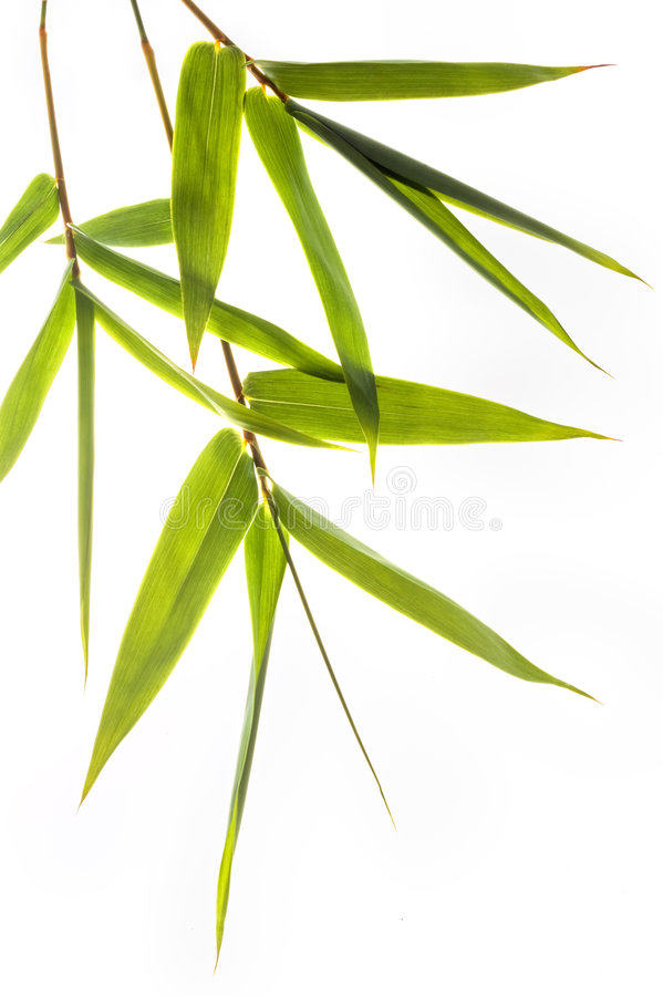 Bamboo leafs. Isolated on white royalty free stock images