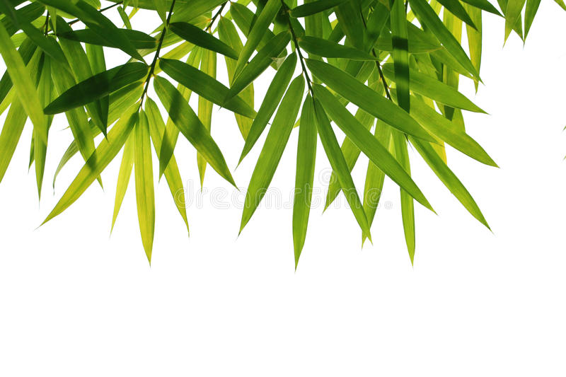 Bamboo leaves. With white background royalty free stock photos