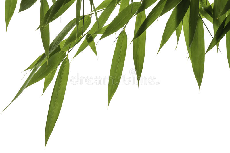 Download Bamboo leaves stock image. Image of flora, leaves, twigs - 26739913